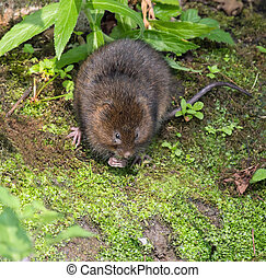 Water Vole on riverbank, eating
