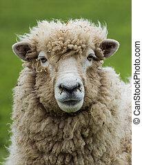 New Zealand Ewe Sheep