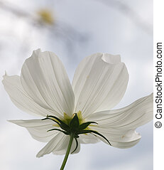Serenity Now - Single white translucent flower shot from...