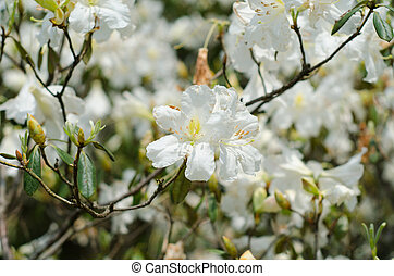 azalea blooming on tree (Rhododendron simsii Planch) -...