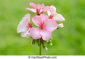 geraniums    - geraniums