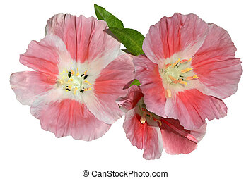Pink Godetia Clarkia flowers isolated on white - Three...