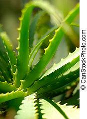 planta,  aloe
