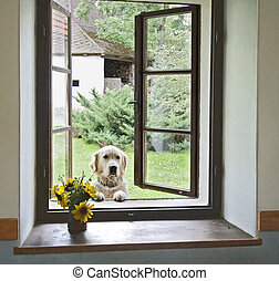 dog in window - gold labrador looking through a window