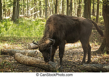 bison eating bark - Female European bison (Bison bonasus),...