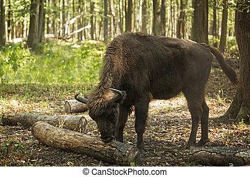 bison eating bark - Female European bison (Bison bonasus),...