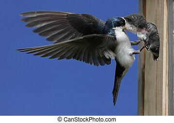 Tree Swallow Feeding Baby Bird - Tree Swallow (tachycineta...