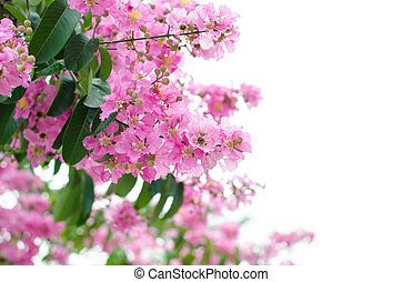 lagerstroemia macrocarpa isolated on whitw background
