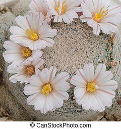 cactus flower  - cactus flower