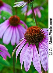 echinacea cone flower in wild field in NY state