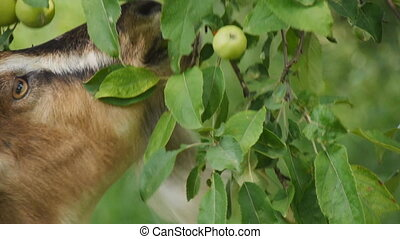 goat eating apples close up