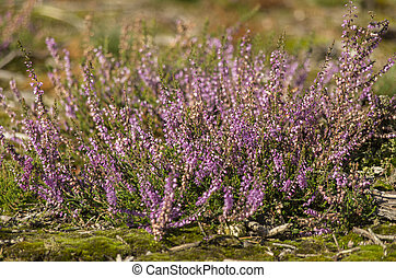 Heather plant in Hoge Veluwe park (Netherlands)