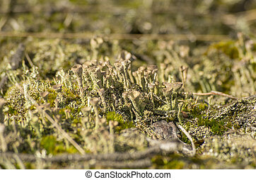Grey lichen on ground - Macrophoto of some gray lichen (Hoge...