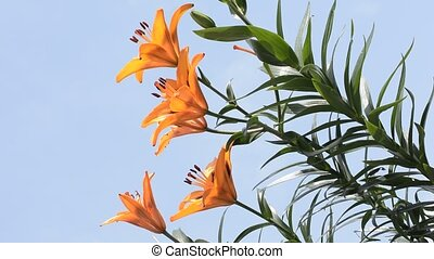 Orange lily facing left - Bright orange asian lily blooming...