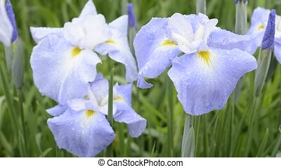 Pale blue Japanese iris flowers obliquely from above