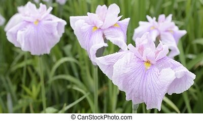 Pale purple Japanese iris flowers in blur of green leaves