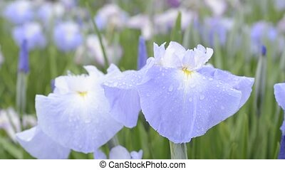 Pale blue Japanese iris flowers from the side