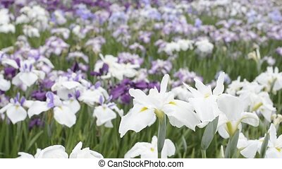 Flowers in field - White and yellow Japanese iris flowers in...