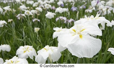 White and yellow flowers - White and yellow Japanese iris...