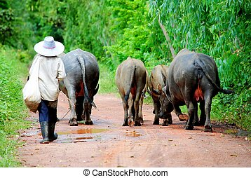 Animals and herdsman - The buffalo animal in Thailand, its a...