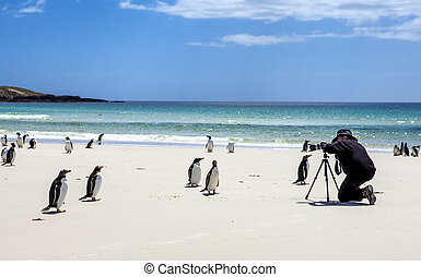 Photographer with penguins at Falkland Islands -...