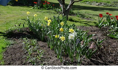 flower bed watering - gardener girl water narcissus flower...