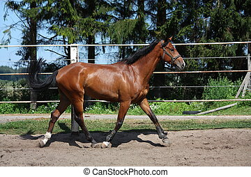 Bay horse trotting in the paddock