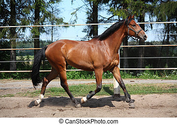 Bay horse trotting in the paddock with white fence
