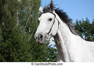 Gray horse portrait - Gray latvian breed horse portrait with...