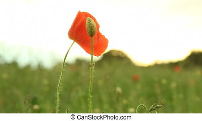 Red common poppy flower wildflower on green meadow. Full HD...