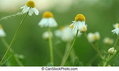 Green meadow. Daisies wildflowers