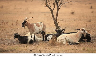 Goats in the steppe