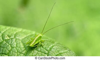 The larva of grasshopper. Animal uses disguise - UHD video -...