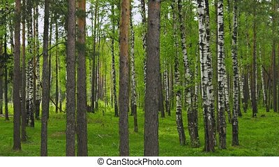 Mixed forest. Pines and birchs