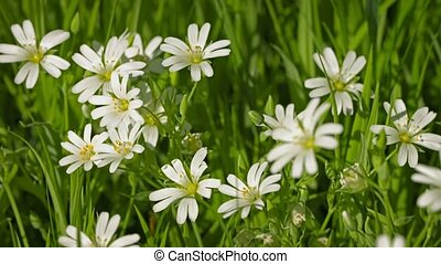 Cerastium flowers (mouse-ear chickweed) on meadow close up