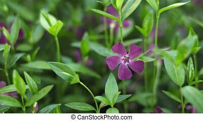 Vinca minor (lesser periwinkle or dwarf periwinkle) on flower bed close-up