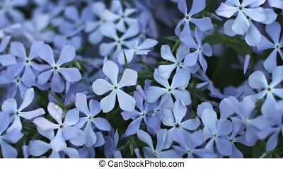 Blue Phlox flowers on flower bed close-up - UHD video - Blue...