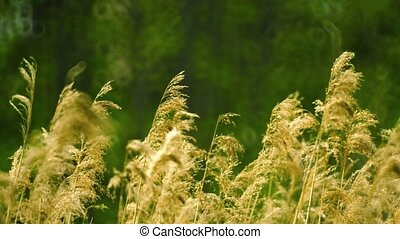 Phragmites common reed swaying in the wind - UHD video -...