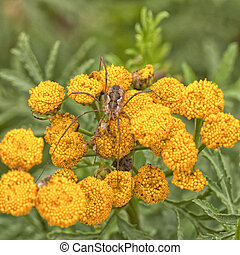 Daddy Longleg Spider on Tansy - A harvestman spider resting...