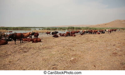 Herd of cows on the lakeside.