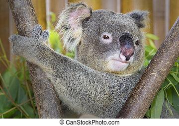 Koala, oso, zoo