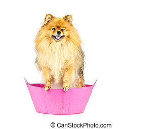 Pomeranian dog prepare to taking a bath standing in pink...