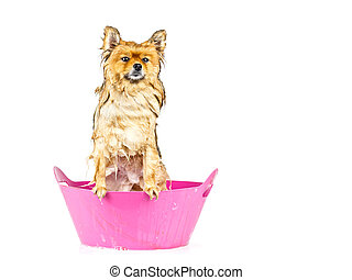 Pomeranian dog taking a bath standing in pink bathtub...