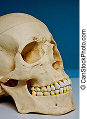 Plastic model of Skull - Plastic model of human skull...
