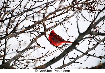 Cardinal Bird during Snow