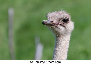 ostrich in soft focus - Happy ostrich walking around at the...