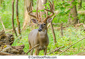 Whitetail Deer Buck In Velvet standing in the woods.