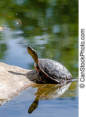 Western Painted Turtle in Pond - Western painted turtle...