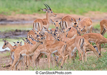 Impala doe caress her new born lamb in dangerous environment...