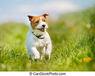 Jack Russell Terrier dog - Purebred dog outdoors on a sunny...